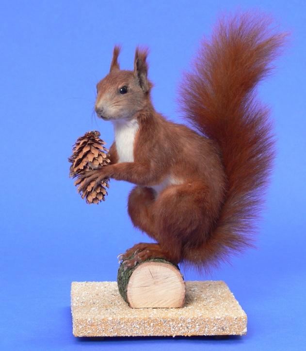 Ganzpräparat Eichhörnchen