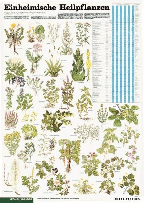 Lehrtafel Einheimische Heilpflanzen, als Poster
