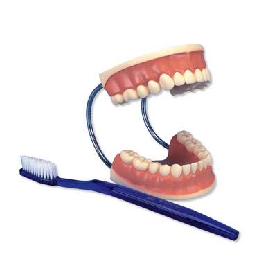 Riesen-Zahnpflegemodell, 3-fache Größe