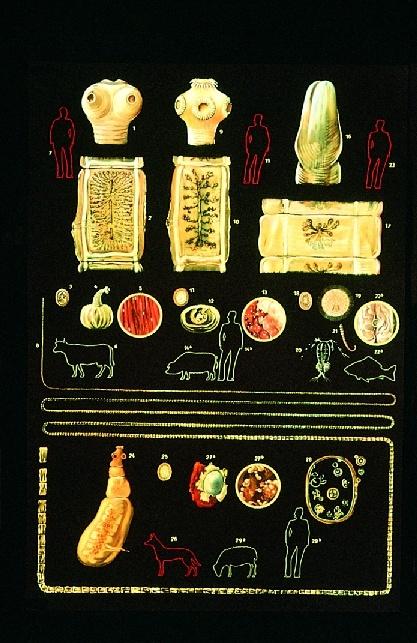 Anatomische Wandkarte Darmparasiten I