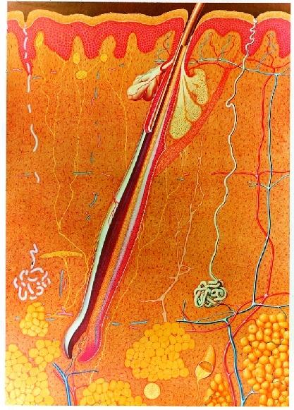Anatomische Wandkarte Die Haut, 84 x 118 cm