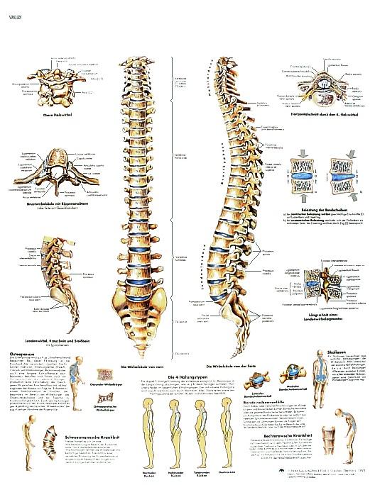 Anatomische Lehrtafel, Die menschliche Wirbelsäule