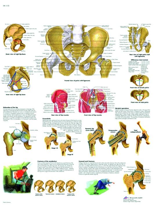 Anatomische Lehrtafel, Becken und Hüfte - Anatomie und Pathologie