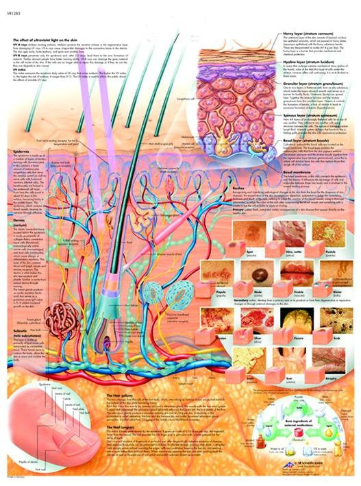 Anatomische Lehrtafel, Die Haut