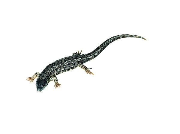 Modell Zauneidechse, Weibchen