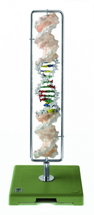Modell DNA-Doppelhelix, Typ B-DNA