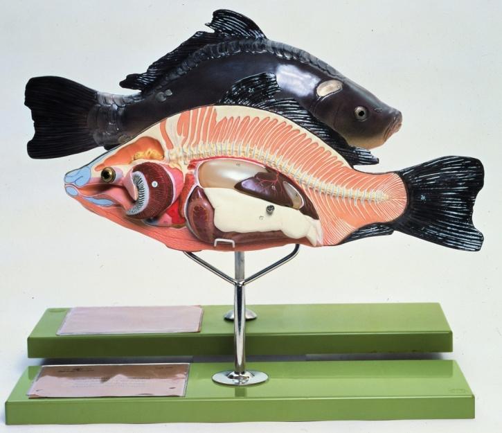 Modell Anatomie beim Knochenfisch